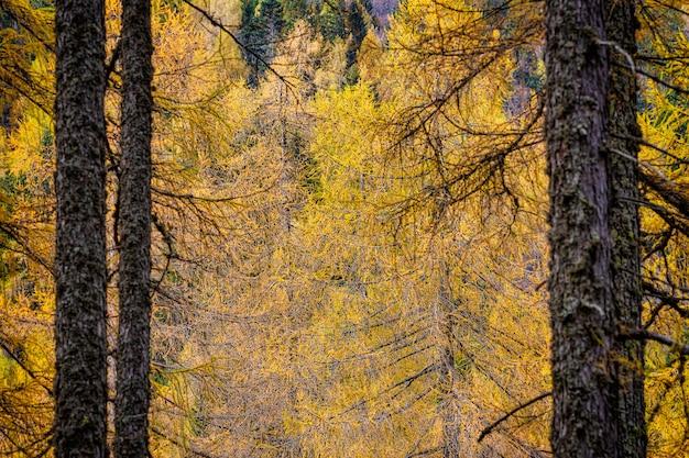 Волшебный вид ветвей желтой лиственницы в осенний сезон