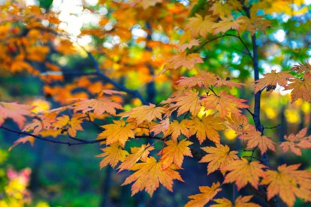 Ветви клена с желтыми листьями в осенний сезон, естественное фоновое изображение