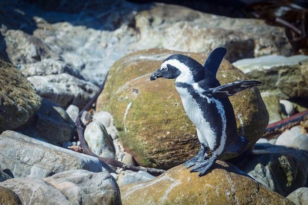 Забавный африканский пингвин поднял крылья, готовясь к прыжку