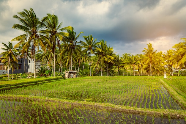Рисовые поля и аллея пальм в убуде, бали