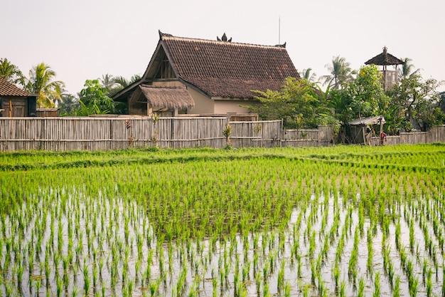Рисовое поле и традиционный балийский дом в убуде, бали