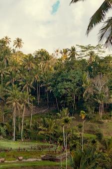 Рисовая терраса и вид на тропический лес в убуде, остров бали