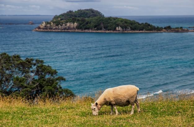 Овцы едят траву с видом на океан в маунт маунгануи, новая зеландия