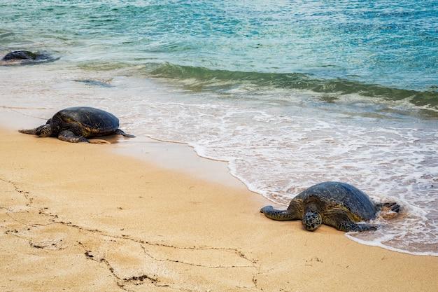 晴れた日、オアフ島、ハワイのラニアケアビーチで休んでいるウミガメのビューを閉じる