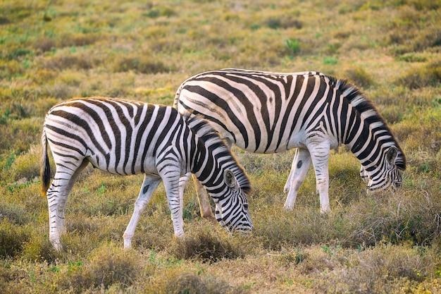 Две зебры едят траву в национальном парке аддо, южная африка