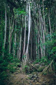 つる植物と細い木の幹がある暗い熱帯のハワイの森