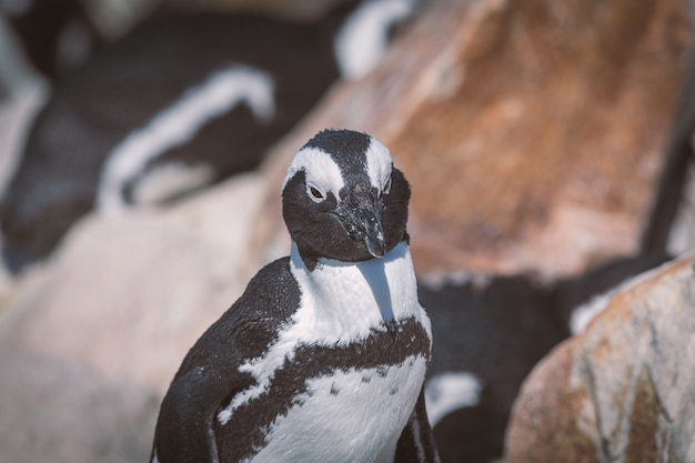 Африканский пингвин в колонии пингвинов в заливе бетти, южная африка
