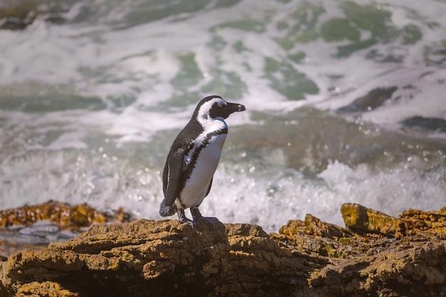 Африканские пингвины на скале у залива бетти, южная африка