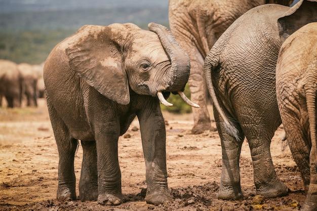 南アフリカのアッド国立公園でトランクと遊ぶ若いアフリカ象