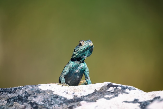 ケープタウン、南アフリカ共和国の岩の上の小さなアガマトカゲ