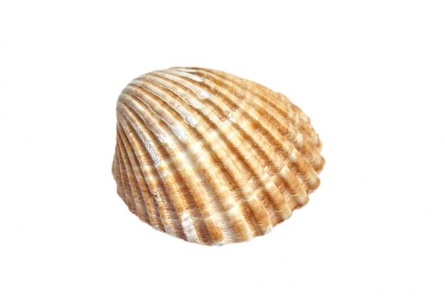 白い背景に分離されたリブ付きホタテ貝殻