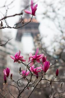 パリのマグノリアの花の開花