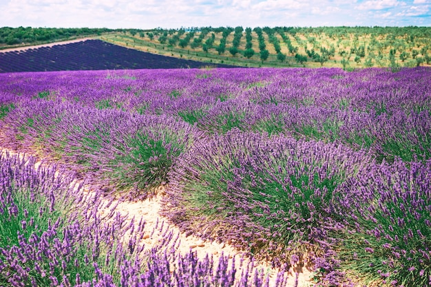 Лавандовые поля, прованс, плато валансоль, франция