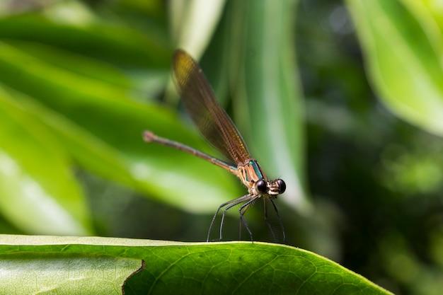 Крупный план стрекозы младенца отдыхая на лист