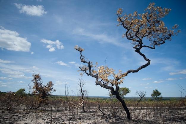 Сожженное засухой дерево в национальном парке халапао приземляется в солнечный день, в матейрос, штат токантинс, бразилия