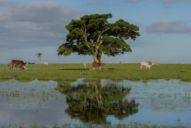 リオグランデドスル州内の浸水したフィールドと放牧された牛の中にある木