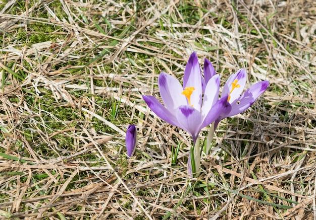 野生のクロッカス紫の花