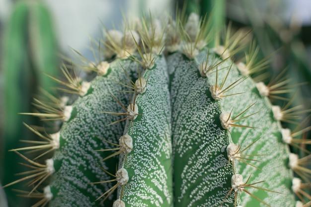 先端のとがったサボテン、サボテン科またはサボテンの自然な背景をぼかした写真のマクロ写真。