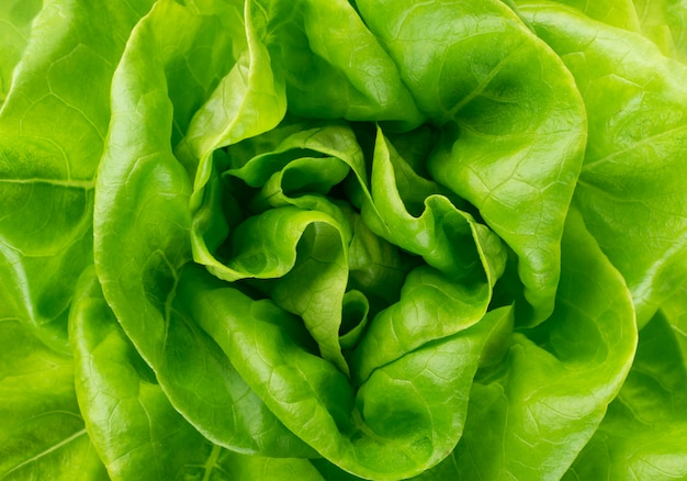 生の新鮮なボストンレタスのサラダまたは白で隔離されるバターヘッド