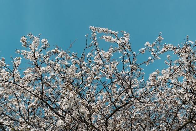 空の背景の上の春の庭の白い桜の花