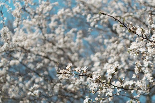 Белое вишневое дерево цветы в саду весной на фоне голубого неба