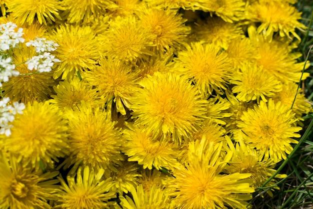 タンポポの花の自然な黄色のパターンやテクスチャをクローズアップ