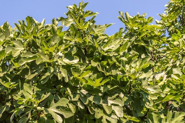 Зеленая корона с незрелым плодом смоковницы