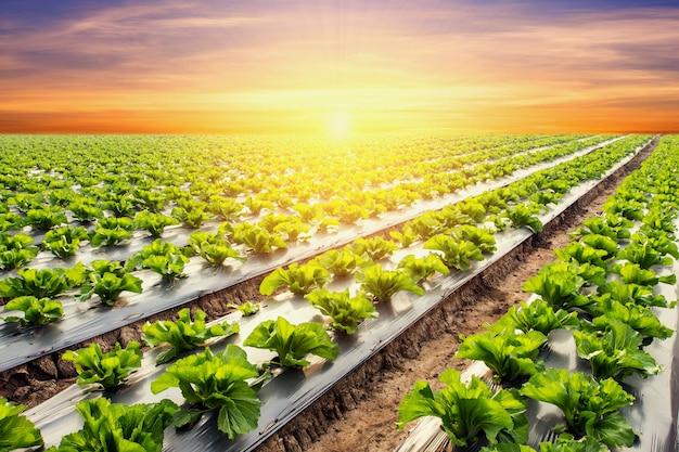 野菜と農業の夕焼けと光の上にレタス植物。
