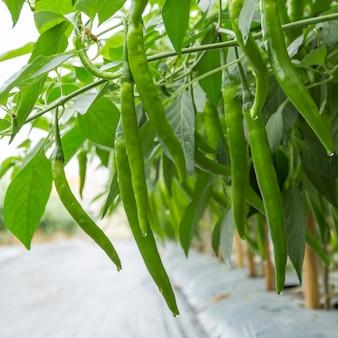 Зеленый перец на заводе в полевом сельском хозяйстве.