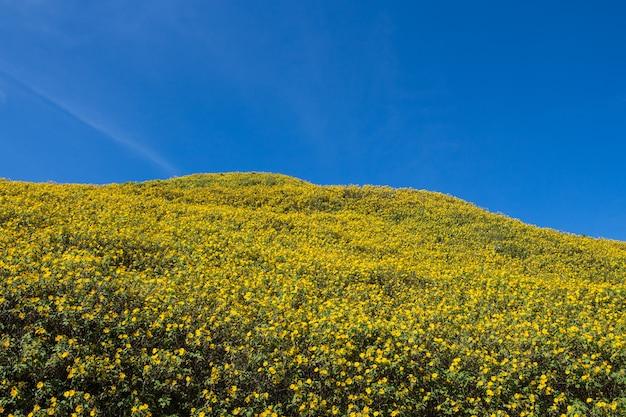 牧草地と青空のマキシのヒマワリ