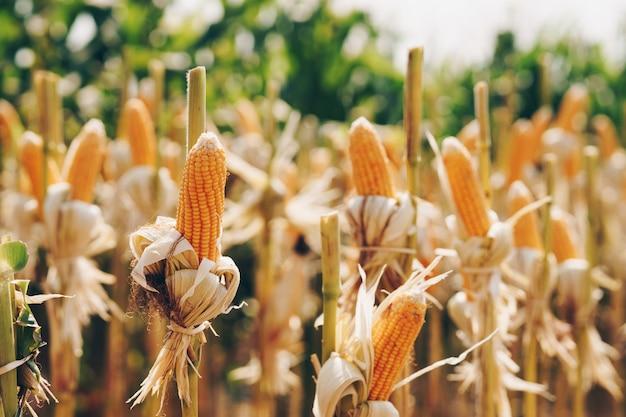 Спелая кукуруза в початках в поле для сбора урожая.