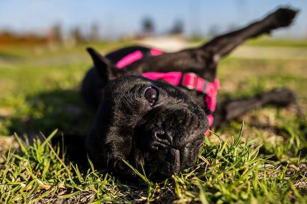 草の上に横たわるフレンチブルドッグ犬