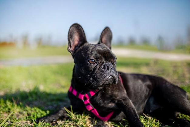オープンエアの公園で、黒のフレンチブルドッグ犬の肖像画