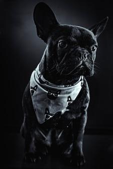 フレンチブルドッグの肖像画、エレガントな黒と白のイメージ