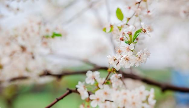 Вишневый цвет селективного фокуса красивый в саде против голубого неба.
