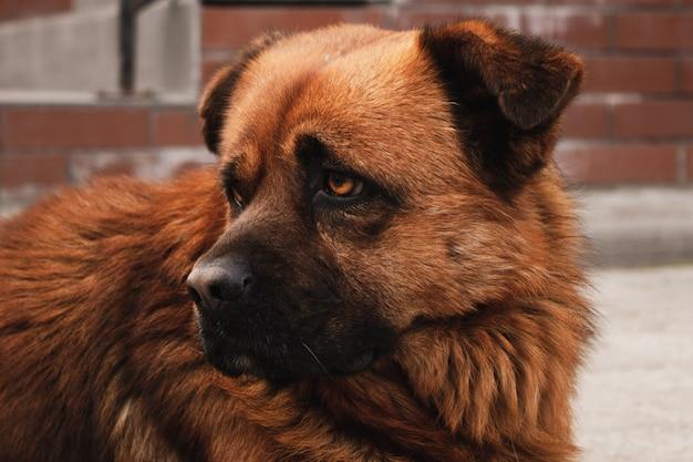 Красная собака с грустным взглядом.
