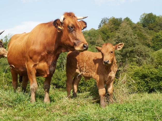 牧草地で母牛の横にあるかわいい子牛