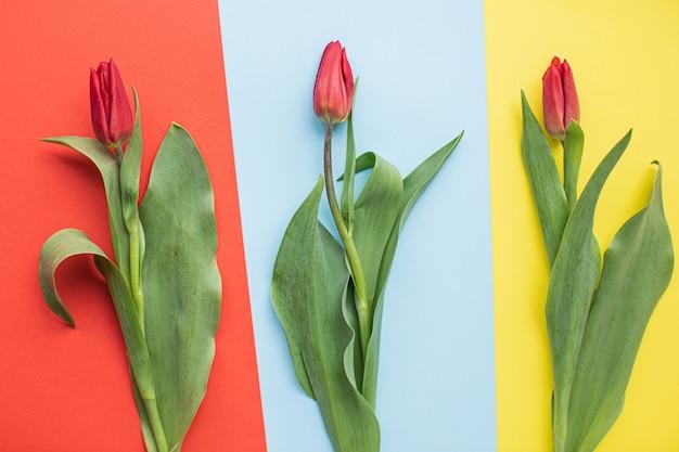 Красивые красные тюльпаны на разноцветные бумажные фоны с копией пространства.