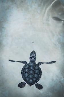 透き通った水で泳ぐカメの赤ちゃん