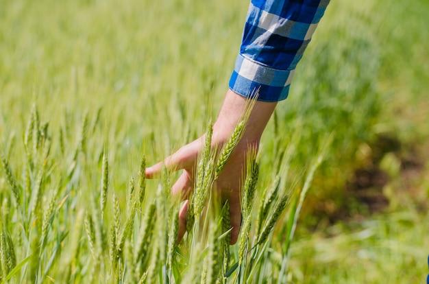 Рука человека, касаясь зеленой пшеницы в солнечный день