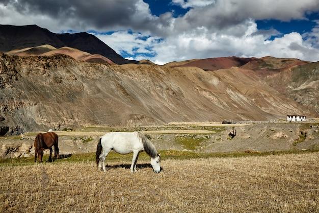ヒマラヤで放牧されている馬。インド、ラダック