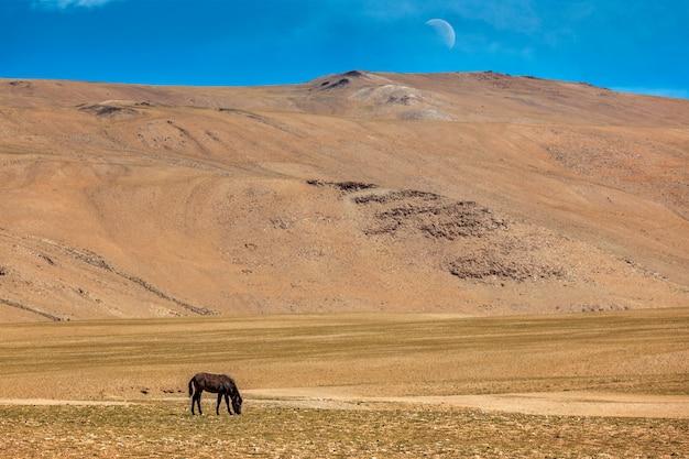 ヒマラヤの馬の放牧