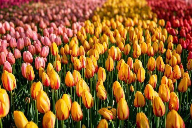 Цветущая клумба тюльпанов в цветочном саду кёкенхоф, голландия