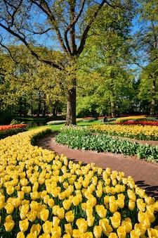 Цветущие клумбы тюльпанов в цветочном саду кёкенхоф, нидерланды
