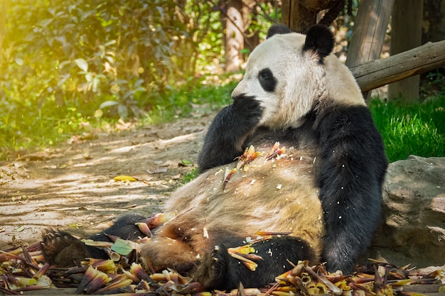 Гигантская панда в китае