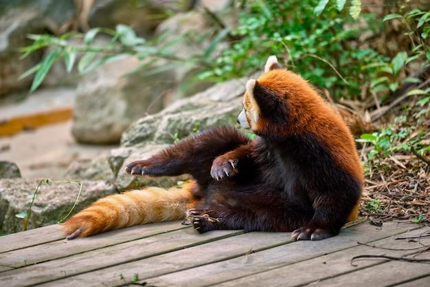 Красная панда малая панда