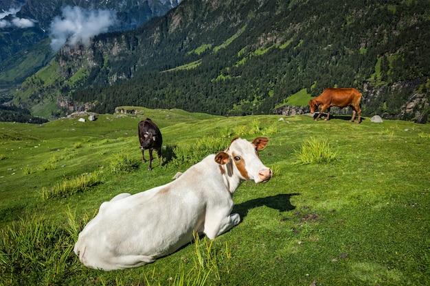 ヒマラヤで放牧する牛