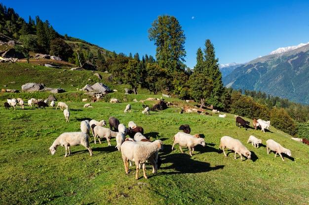 ヒマラヤの羊の群れ