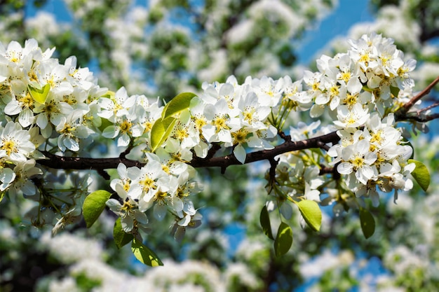 Цветущая ветка яблони