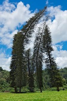 Кривые сосны кука (араукария колонарис)